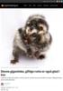 Denne gigantiske, giftige rotta er også glad i kos