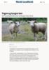 Yngre og tyngre lam